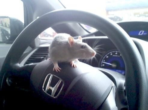 Куницы, мыши, крысы и кошки - как обезопасить от них автомобиль?